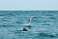 Porpoise breaching, leaping out of the water at sea with two others nearby. Wildlife and nature photography wall art. Fine art photography prints.