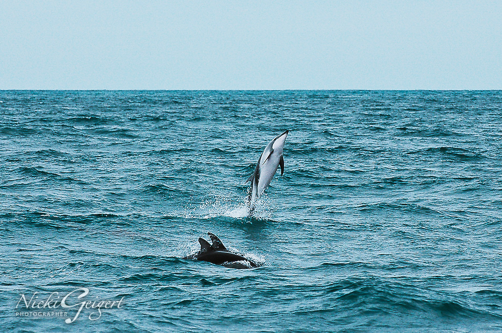 Animals, whale leaping out of water.<br /> DSC0907