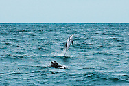 Animals, whale leaping out of water.<br />