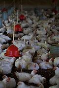 Bom Despacho_MG, Brasil...Produtores rurais que criam gado e aves ao mesmo tempo como forma de aumentar e garantir a lucratividade...The farmers raise cattle and poultry at the same time as a way to increase and ensure profitability...Foto: LEO DRUMOND / NITRO