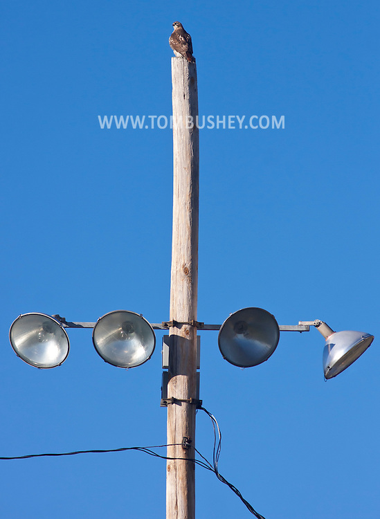 Middletown, New York - A hawk perches n a light pole at Watts Park on  Nov. 15, 2014. ©Tom Bushey / The Image Works