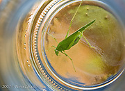 Caught this grasshopper in a jar after it flew inside the kitchen.  Laid the jar on its side and shot through the top until the grasshopper figured out that he could get out.