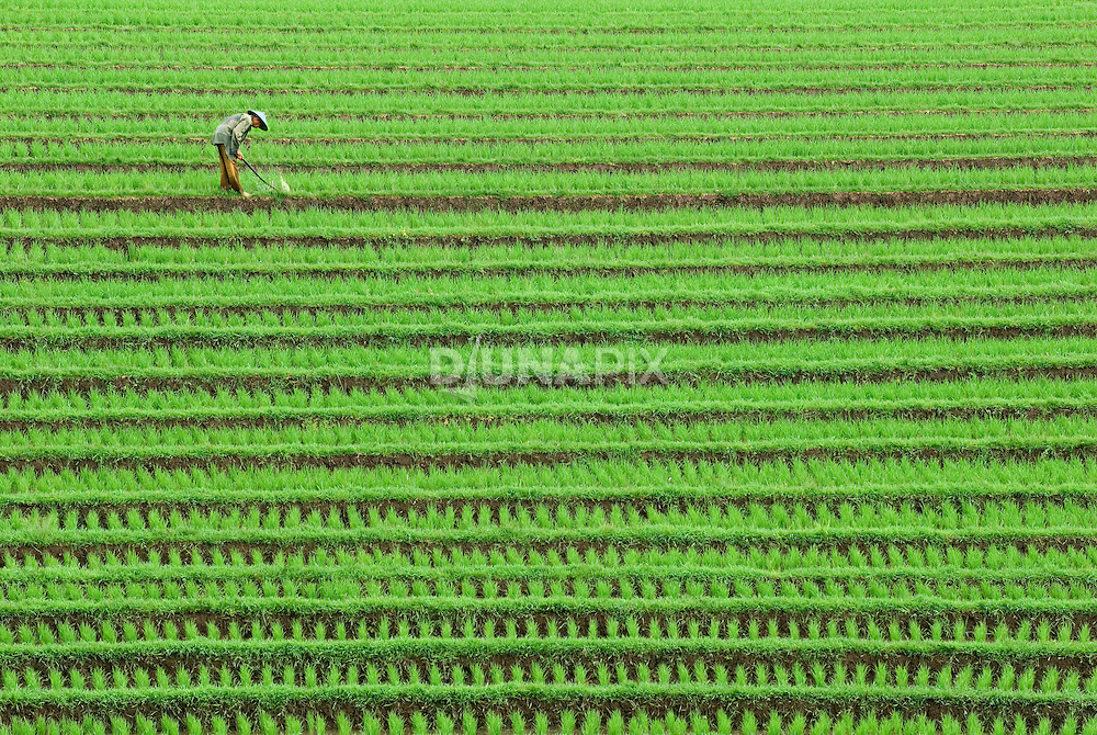A man uses a stick to beat down weeds in a 10-day-old(?) paddy.