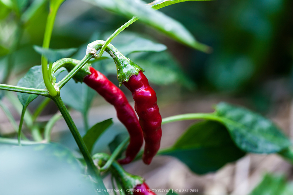 Super Cayenne II hot pepper (Capsicum annuum 'Super Cayenne II')