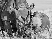 A critically endangered black rhino mother with her baby. 100% of the proceeds from this image will go to protect rhinos in the wild