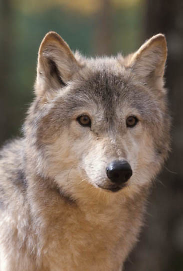Gray Wolf, (Canis lupus) In hardwood forest of northern Minnesota. Captive Animal.
