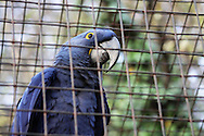 """The largest of all the Macaw species, the Hyacinth Macaw is almost entirely a deep shade of solid blue, with only slight patches of bright yellow around the eyes and beak. These bold and powerful birds are living proof that """"size doesn't matter"""" -- although they are the largest parrot species, they are widely known as """"gentle giants"""", and despite their intimidating beaks, they have a reputation for being extremely friendly, sweet, and affectionate. Those interested in adopting one of these birds should make sure that they have the free time, space, and funds necessary to properly care for a Hyacinth Macaw. While they are gentle and sweet, these birds require a lot of attention from their owners in order to thrive in a pet situation"""