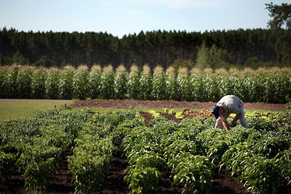 Inmate Greg Grund harvests green peppers in the garden at the Minnesota Correctional Facility in Willow River August 22, 2012.