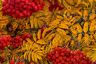 Mountain ash tree in vibrant fall colors in Whitefish, Montana, USA