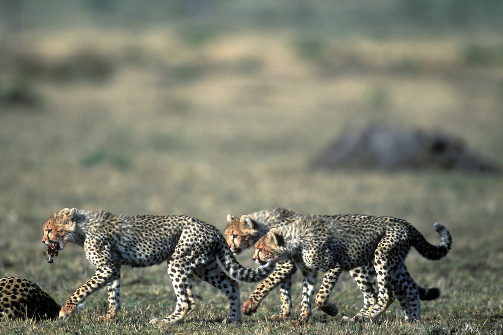 Africa, Kenya, Masai Mara Game Reserve, Cheetah cubs (Acinonyx jubatas) feed on Thomson's Gazelle kill on savanna