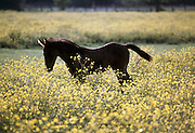 Portrait of a contented chestnut brown foal trotting about in a field of yellow buttercup flowers, UK