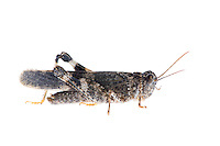 IFTE-NB-007841; Niall Benvie; Oedipoda germanica; grasshopper; Europe; Austria; Tirol; Fliesser Sonnenhänge; insect arthropod invertebrate; horizontal; high key; grey white; controlled; male; adult; one; moorland; 2008; July; summer; strobe backlight; Wild Wonders of Europe Naturpark Kaunergrat