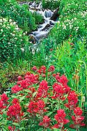 Stream and Magenta Paintbrush, Castilleja cotton,.Yankee Boy Basin, Uncompahgre National Forest, Colorado