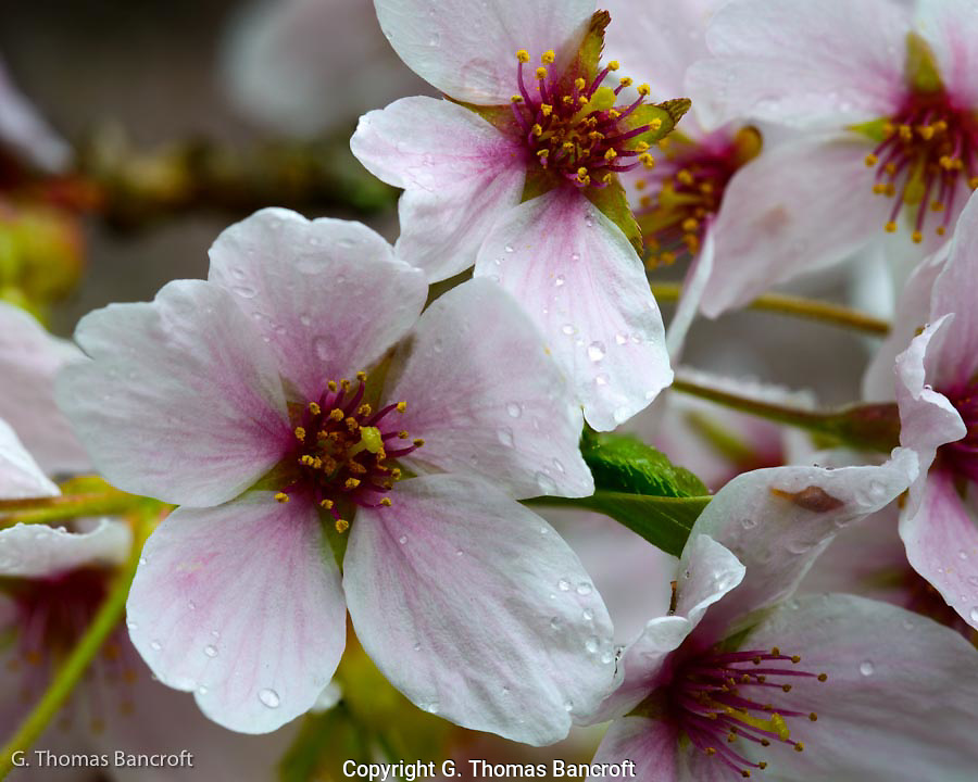 The pink wash on the white pedals draw the eye toward the pistal and stamines in the center of the cherry flower.  Water droplets from the light rain glide across each pedal.  The perfume scent of these flowers was strong in the stillness of the morning.