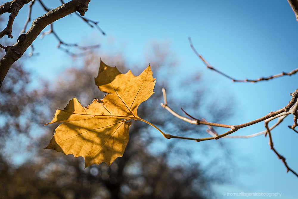 A single brown leaf on a blue sky background with out of focus trees in the background