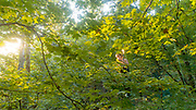 Plant Biology graduate student Kelsey Bryant collects leaves from the canopy of older trees in the land lab at the Ridges on the Athens Ohio campus.