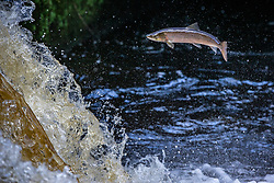 Salmon leap at the weir near the Larbert viaduct, Falkirk, on their journey to the upper reaches of the River Carron. Trout and Salmon leap at the weir near the Larbert viaduct, Falkirk, on their journey to the upper reaches of the River Carron.