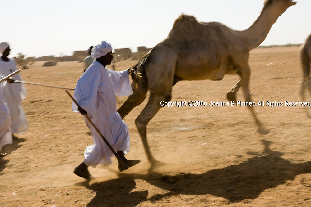 Camel traders, buyers and sellers gather in a Camel Market in El Obeid, Sudan.
