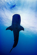 Diving with the Whale Sharks at Gladden Spit in Belize