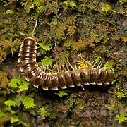 Paradoxosomatidae millipede. Kaeng Krachan National Park, Thailand.
