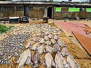07 OCTOBER 2017 - COLOMBO, SRI LANKA: Fish drying in the sun behind a fishing village south of central Colombo. Fish is an important source of protein for most Sri Lankans.   PHOTO BY JACK KURTZ