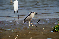 Black-crowned Night Heron (Nycticorax nycticorax) walking along edge of  Lake Chapala, Jocotopec, Jalisco, Mexico