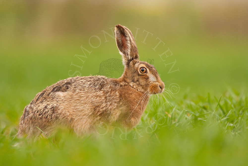 European Hare (Lepus europaeus) adult alert in wheat crop, Norfolk, UK.