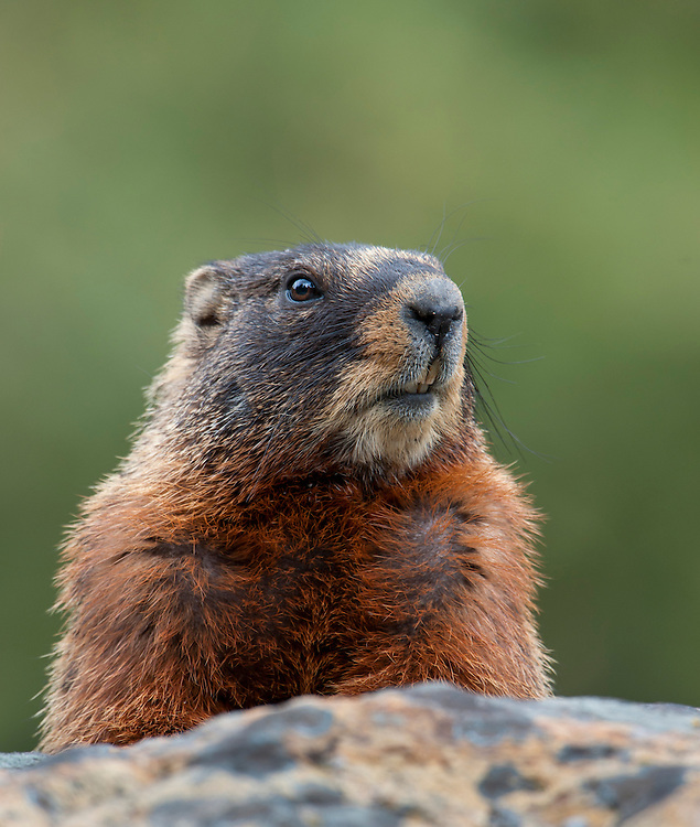 Portrait of a Yellow-bellied Marmot, Wyoming