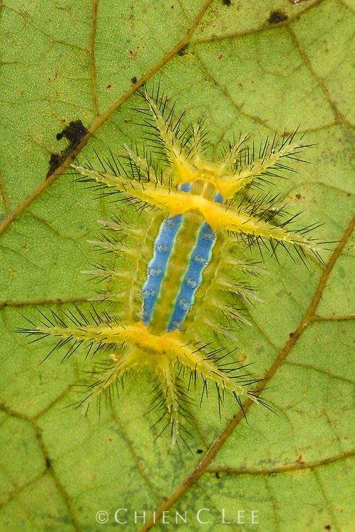 Bright colors warn potential predators of the painful stinging bristles worn by this slug moth caterpillar (family Limacodidae).
