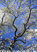 Spring Fruit Tree Blossoms, PA Scenics, Blue Sky and Blossoms, Dauphin Co., Pennsylvania