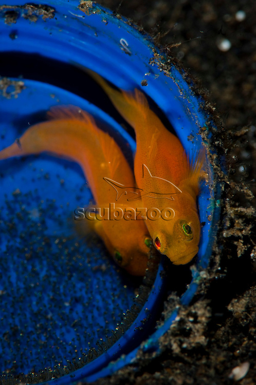 Yellow Pygmy-Goby, lubricogobius exiguus, Pair in blue bucket with eggs, Lembeh Strait, Sulawesi, Indonesia