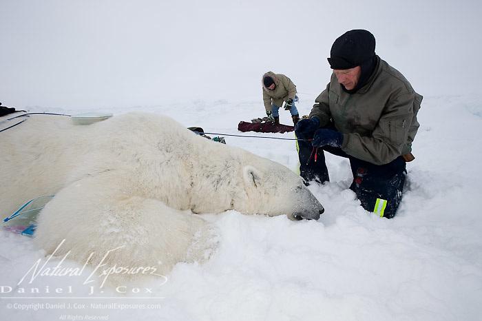 Eric Regehr and Dr. Steven Amstrup working on captured polar bear. Beaufort Sea, Alaska