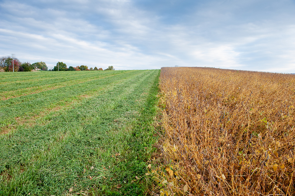 Fields showing one side as a soybean crop and the other side is grass, in Boonsboro, Maryland, USA