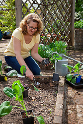 Planting out brassicas in the vegetable garden