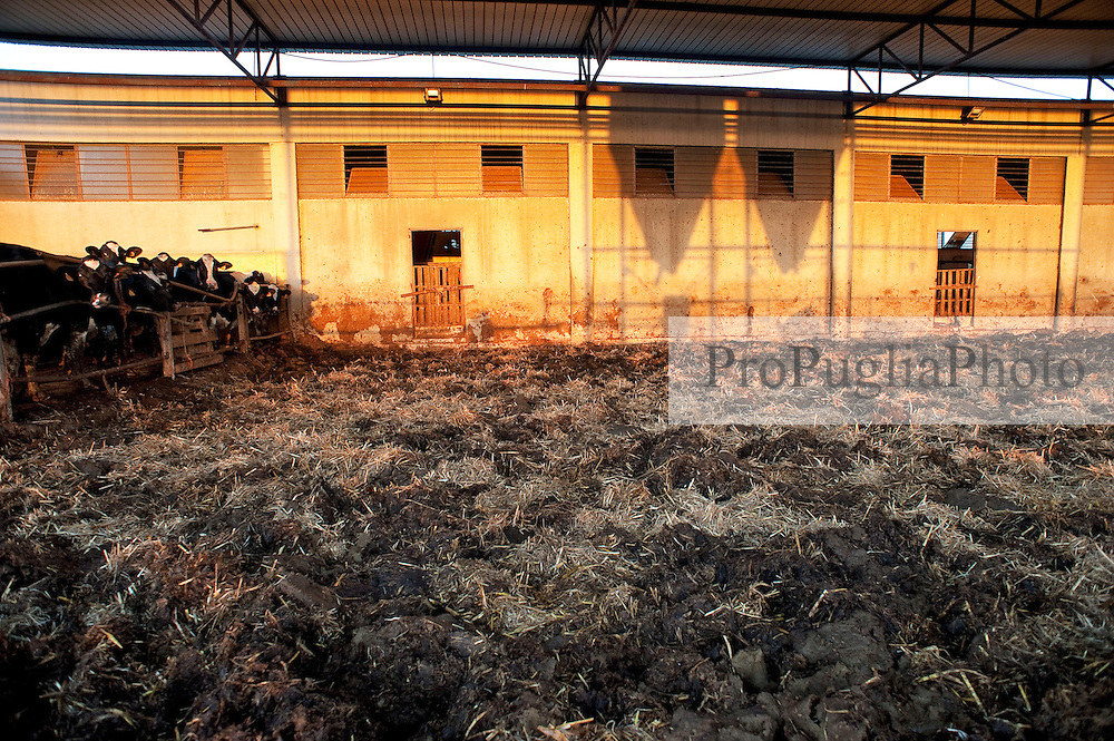 Alessano 17 ottobre 2012..Aallevamento di vacche da latte di razza Frisona ad Alessano