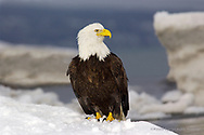 XM083-3348  BALD EAGLE (Haliaeetus leucocephalus)  Kachemak Bay,  Alaska