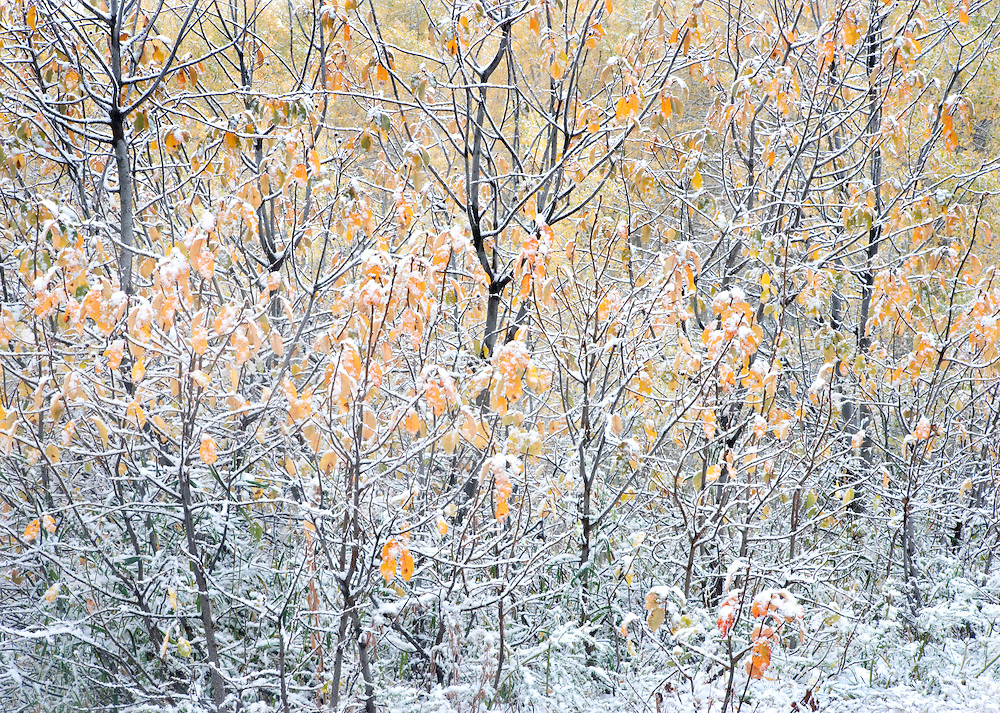 Snow on Autumn Leaves and Branches, Grand Targhee, Idaho