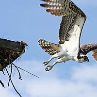 Osprey, Pandion haliaetus, flying from nesting platform. Fort Myers Beach, Florida