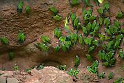 Dusky-headed Parakeet (Aratinga weddellii) at claylick<br /> Yasuni National Park, Amazon Rainforest<br /> ECUADOR. South America<br /> HABITAT & RANGE: Woody habitats of western Amazon Basin of South America