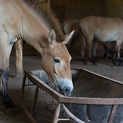 FRONT ROYAL, VA - JUL24: Przewalski's horses feed at the Smithsonian Conservation Biology Institute in Front Royal, Virginia, July 24, 2014. The horses were considered extinct in the wild until 2008, when the World Conservation Union reclassified them as critically endangered. Scientists at the Zoo are working to increase the genetic diversity of Przewalski's horses. Photo by Evelyn Hockstein/For The Washington Post)