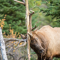 bull elk raking small tree