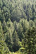 Nadelwald, Thüringer Wald, Thüringen, Deutschland | Thuringia forest, Thuringia, Germany
