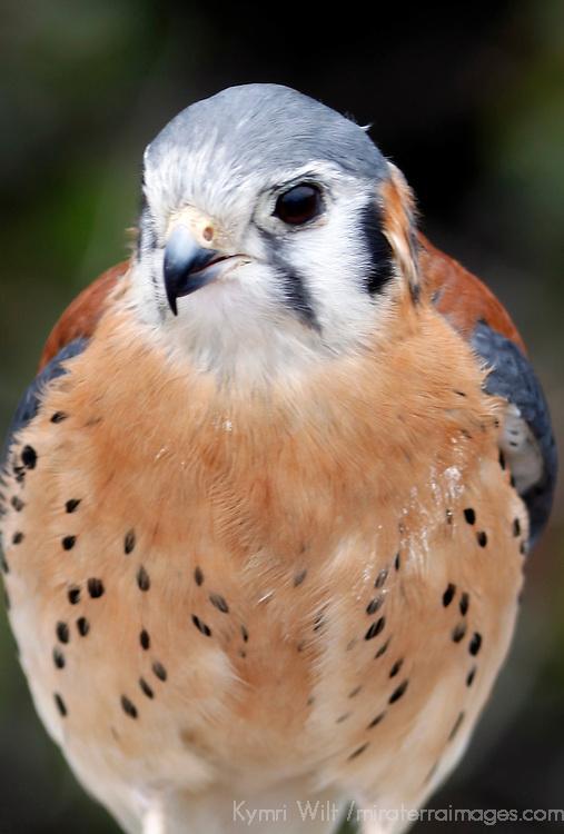 USA, California, San Diego. American Kestral (Falco sparverius).