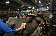 Eddie Sekarak, left, prepares his Brown Swiss cow during the World Dairy Expo in Madison, Wisconsin, U.S., October 3, 2018.  REUTERS/Ben Brewer
