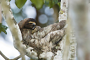Brown-throated Three-toed Sloth <br /> Bradypus variegatus<br /> Female sleeping<br /> Limon, Costa Rica