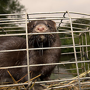 American mink in trap.