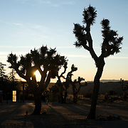 Sunrise through Joshua trees at Rimrock Ranch Cabins, Pioneer Town, California.
