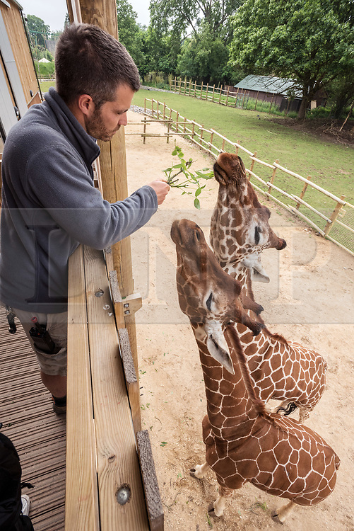 © Licensed to London News Pictures. 29/05/2018. Bristol Zoo Gardens & Wild Place Project, South Gloucestershire, UK. WILL WALKER, animal manager at Wild Place Project, measuring up the giraffes. It's been a year since three young giraffe arrived at Wild Place Project, and now it's time to see how they are measuring up. Giraffes Dayo, Gerry and Tom, arrived at the attraction last May. The three young males have done plenty of growing in that time, but have not yet reached full maturity and will get even taller yet. The biggest giraffe, Gerry, has just celebrated his fourth birthday and now stands at more than 4m (13ft) tall. Tom is the smallest of the three, at just two and a half years old, and in the middle is Dayo, who turned three in March. Giraffe reach maturity at around five years old and can grow up to 5m (16.5ft) tall. Photo credit: Simon Chapman/LNP