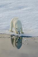 Refelcting polar bear on sea ice in Barrow Strait just south of Cornwallis Island in Nunavut, Canada.