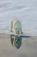Refelcting polar bear on sea ice in Barrow Strait just south of Cornwallis Island in Nunavut, Canada.